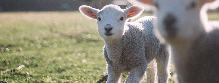 Photo of a young adorable sheep